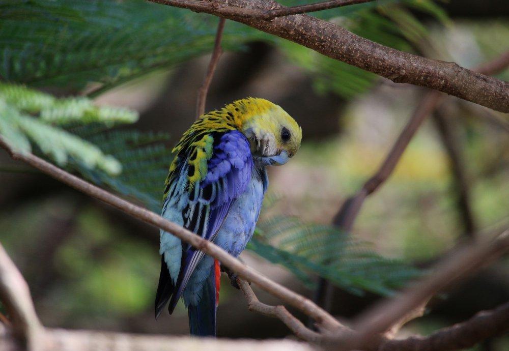 Parrot (Large).JPG