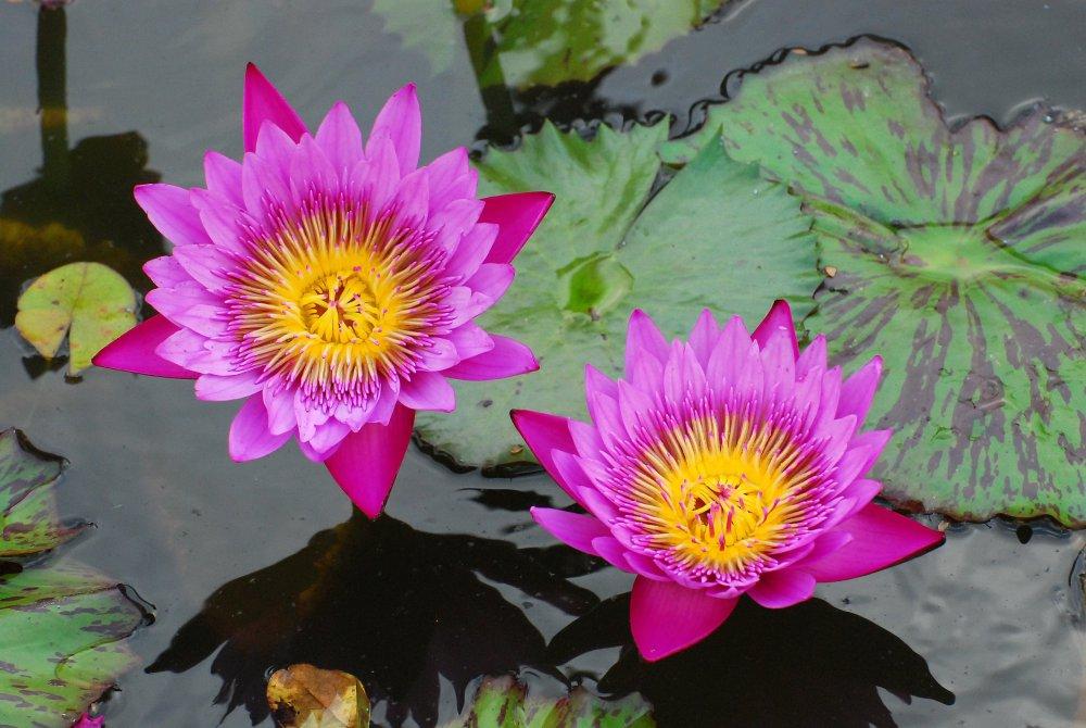 waterlillies_(30).jpg