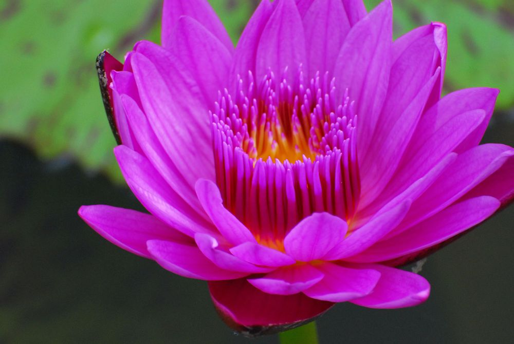 waterlillies (35).jpg