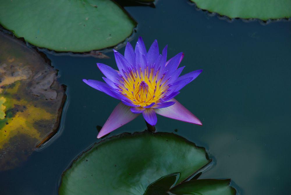 waterlillies (6).jpg