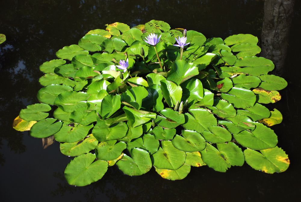 waterlillies (21).jpg