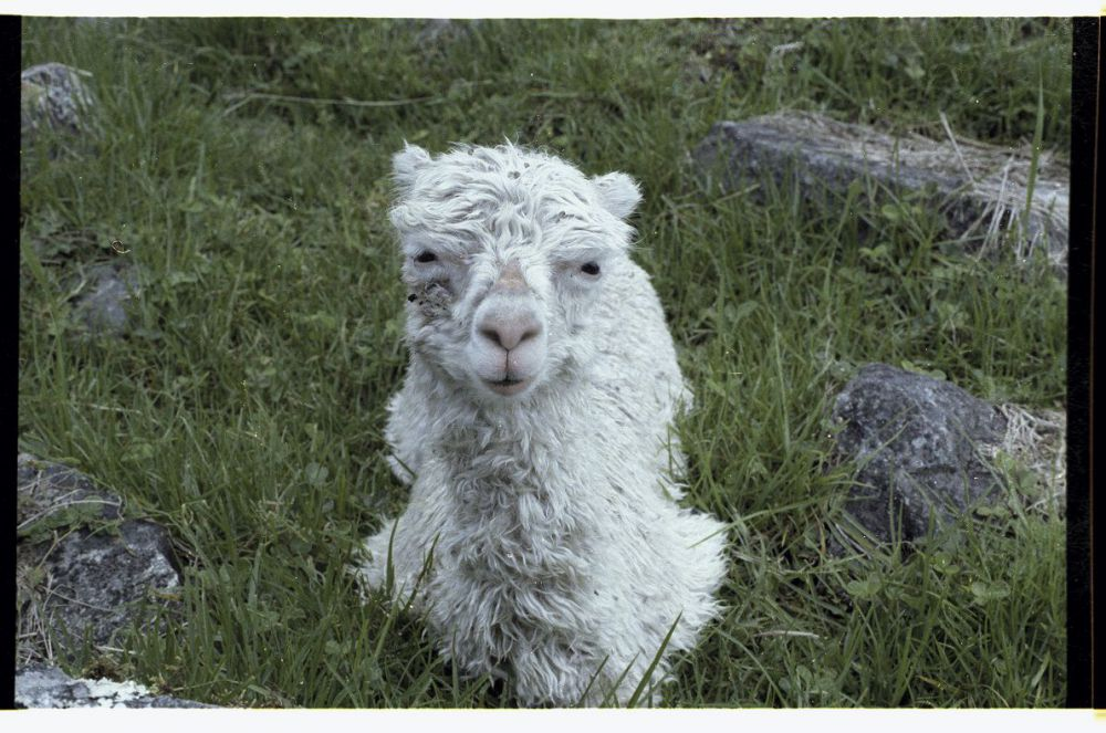 Baby Llama.jpg